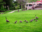 Title: Gooses family...Canon Power Shot 40
