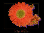 Title: Gerbera for