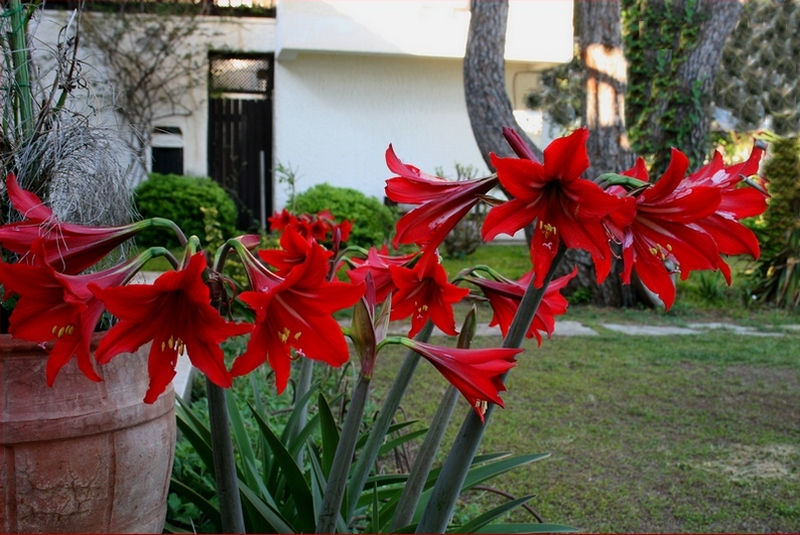 red liliums of datca aktur