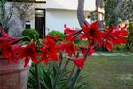 Title: red liliums of datca aktur