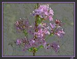 Title: marbling watering lilac