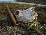 Title: Musk ox remains