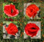 Title: four poppies