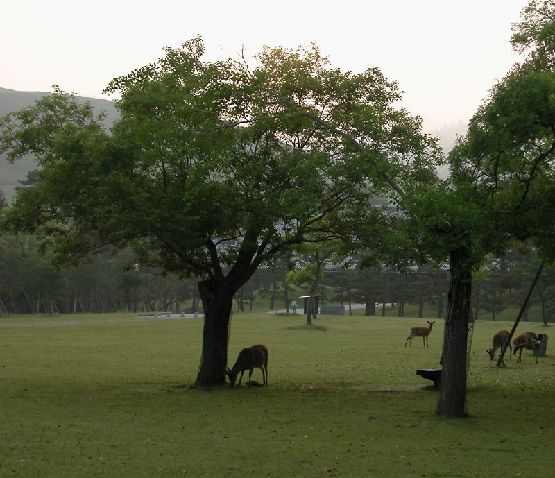 deers in a morning park