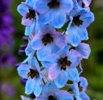 Title: soft blue flowers in the rain