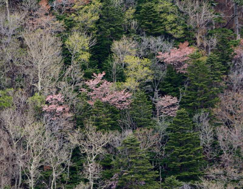 mountain cherry blossoms in the forest