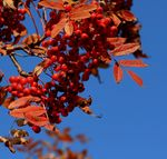 Title: red nuts of a mountain ash