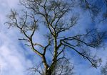 Title: a winter tree against the winter sky