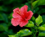 Title: a red hibiscus in the rain