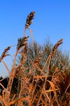 Title: iced grass in morning sun light