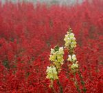 Title: yellow flowers on the red sea of salvia