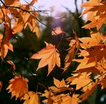 Title: autumnal leaves 2