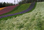 Title: a hill covered with colorful flowers