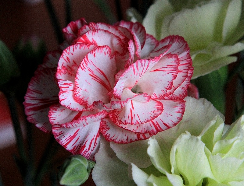 a red and white carnation