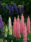 Title: pink and blue lupin flowersCanon EOS 7D