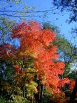 Title: the autumn red leaves of maple tree