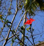 Title: a red hibiscus in the air