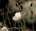 Title: white poppy in morning light