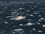 Title: seagull on sea of floating iceCanon EOS 7D