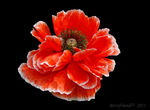 Title: Red Corn Poppy
