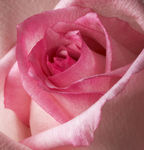Title: Pink beauty from closer distance