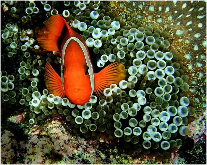 Clown fish 2