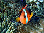 Title: Clown fish