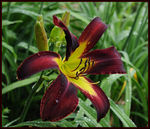 Title: Inky Fingers daylily