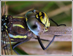 Title: Common Hawker