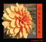 Title: A dahlia of distinction!Nikon D70