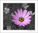 Title: Desaturation - a flower of distinctionNikon D70