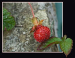 Title: Wild StrawberryNikon D200
