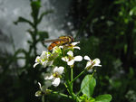 Title: hoverfly on the flower