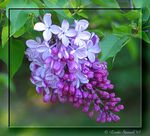 Title: Lilac FestivalCanon Powershot S1 IS