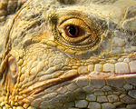 Title: Close up of Reptile