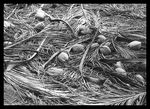Title: Coconut Branches and Shellscanon Eos 300D rabel
