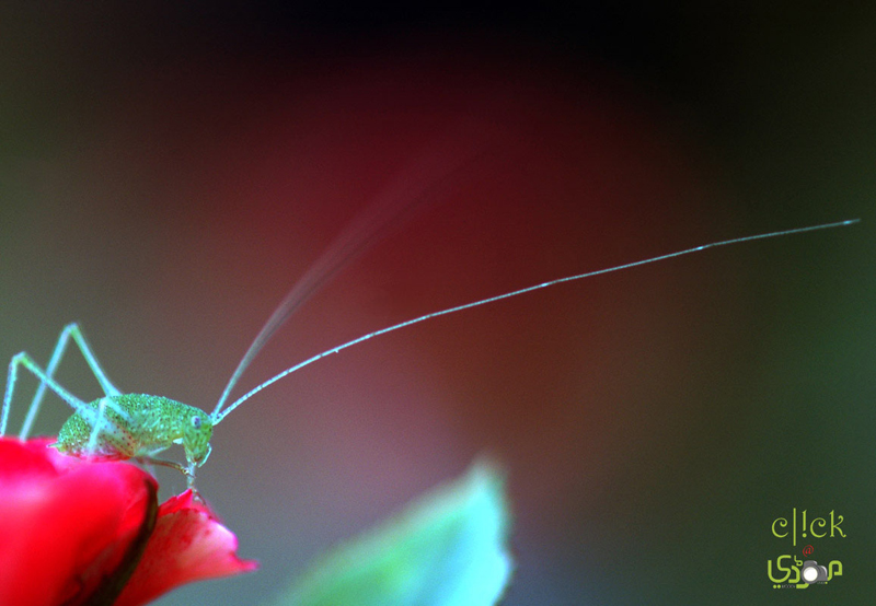Insect on Rose