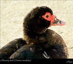 Title: Muscovy