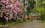 Title: Azaleas at Lewis & Clark College