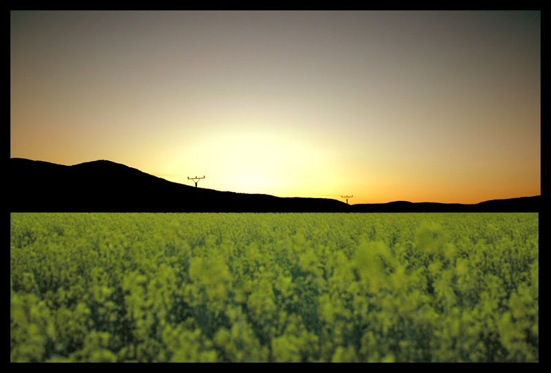 Sunset in Yellow Flowers