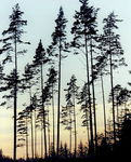 Title: tall trees at dusk