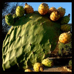 Title: Prickly pear
