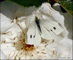 Title: White Cabbage Pest on the Rose...