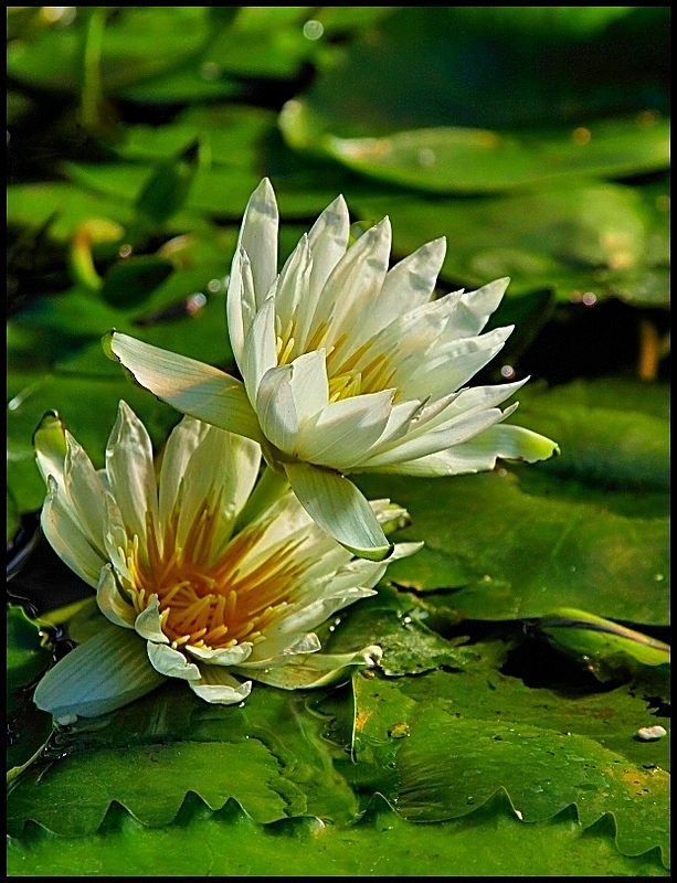 Water Lilies on Show