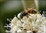 Title: Wasp on my Fatsia Japonica