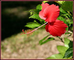 Title: Beautiful Hibiscus from FIJI