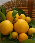 Title: Citrus from my Garden