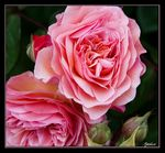 Title: First Roses of the SeasonCanon EOS 30D