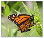 Title: Early Monarch