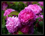 Title: Roses for SilkeCanon EOS 30D